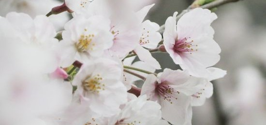 2016年の桜