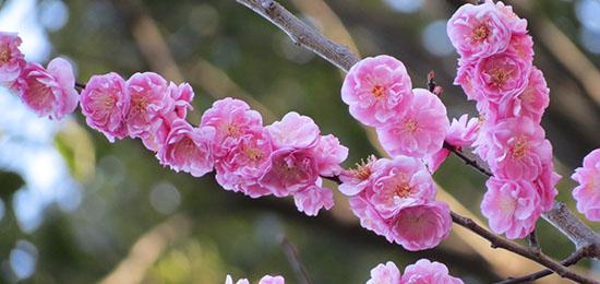 境内の桃の花