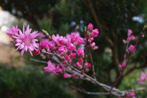 菊桃も咲いています