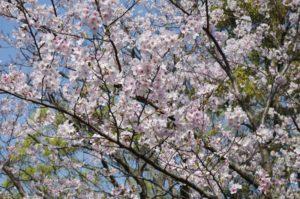 桜がこれでもかと咲いております